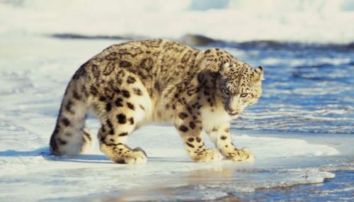 Il existe en réalité 3 sous-espèces de panthères des neiges