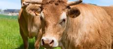 7% des Américains pensent que le lait chocolaté provient des vaches marron