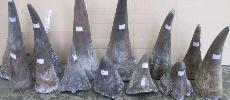 Les cornes de rhinocéros transformées en bijoux pour passer les douanes