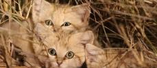 Désert du Maroc : Les premières images des chatons de sable