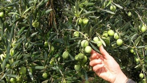 Campagne agricole 2017-2018: La production d'olives bat tous les records