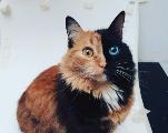 Quimera, la chatte aux deux visages qui séduit le Web