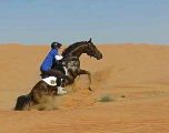 Gallops of Morocco: des étalons dans une tempête de sable