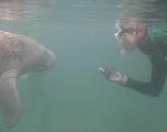 Les lamantins surveillés grâce aux traces ADN qu'ils laissent dans l'eau