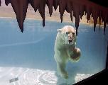 Une ONG dénonce un zoo mexicain refusant de mettre au frais une ourse polaire
