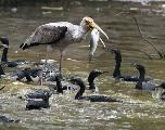 Pourquoi les oiseaux n'ont-ils plus de dents? Une nouvelle piste