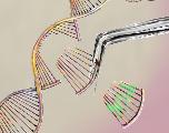 Crispr-Cas9 provoquerait des mutations indésirables