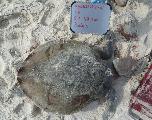 Une tortue d'une espèce très menacée retrouvée morte, piégée par une chaise de plage