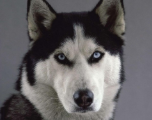 Pourquoi les huskies ont les yeux bleus