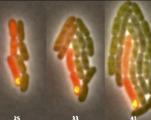 Des bactéries qui se prennent pour des cellules souches