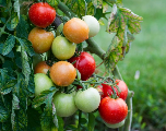 Virus de la tomate: