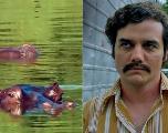 Après Narcos, Netflix prépare Cocaine Hippos, sur les animaux du zoo de Pablo Escobar