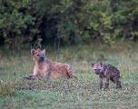 Les hyènes transmettent leur rang social à leurs descendants