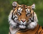 Thaïlande: Le nombre de tigres sauvages s'élève à 177