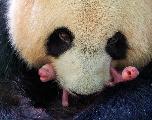 Naissance de jumeaux pandas dans un zoo en France