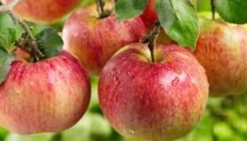 Festival national des pommes d'Ifrane: Fès-Meknès concentre près de 38% de la production nationale