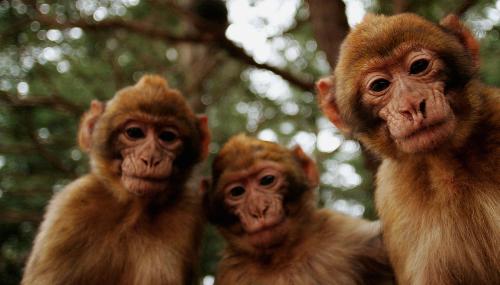 La survie du macaque de Barbarie menacée par le braconnage au Maroc