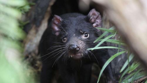 Pourquoi les diables de Tasmanie peuvent-ils souffrir de cancers transmis par morsure ?