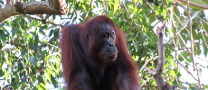Plus de 100.000 orangs-outans de Bornéo ont disparu en 16 ans