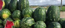 Culture de pastèque : La Chambre agricole du Souss-Massa dément les rumeurs